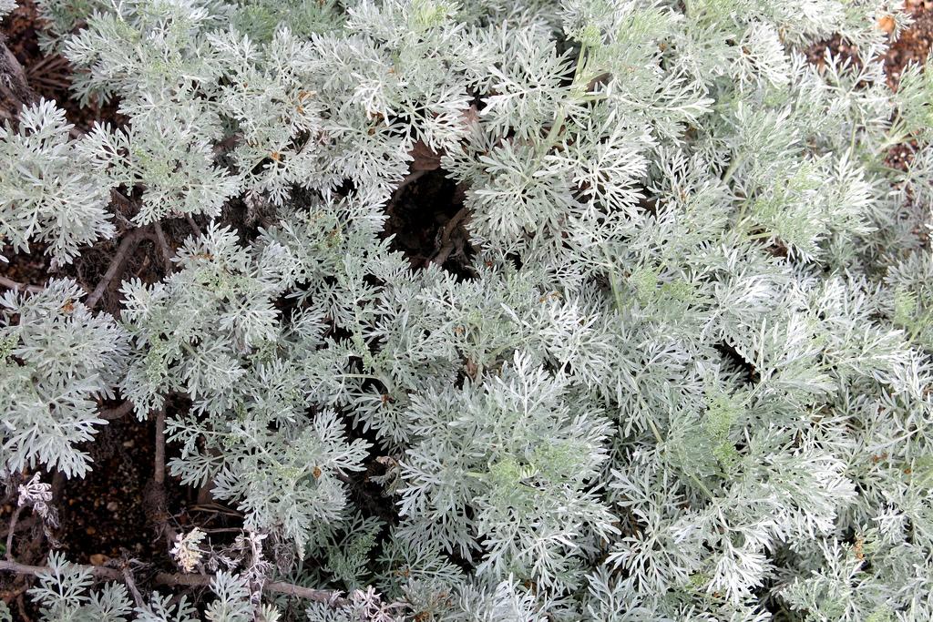 Photograph of Artemisia Arborescens plant